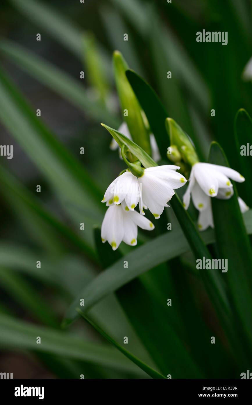 Leucojum Aestivum Gravetye Giant Summer Snowflake Flowers Small