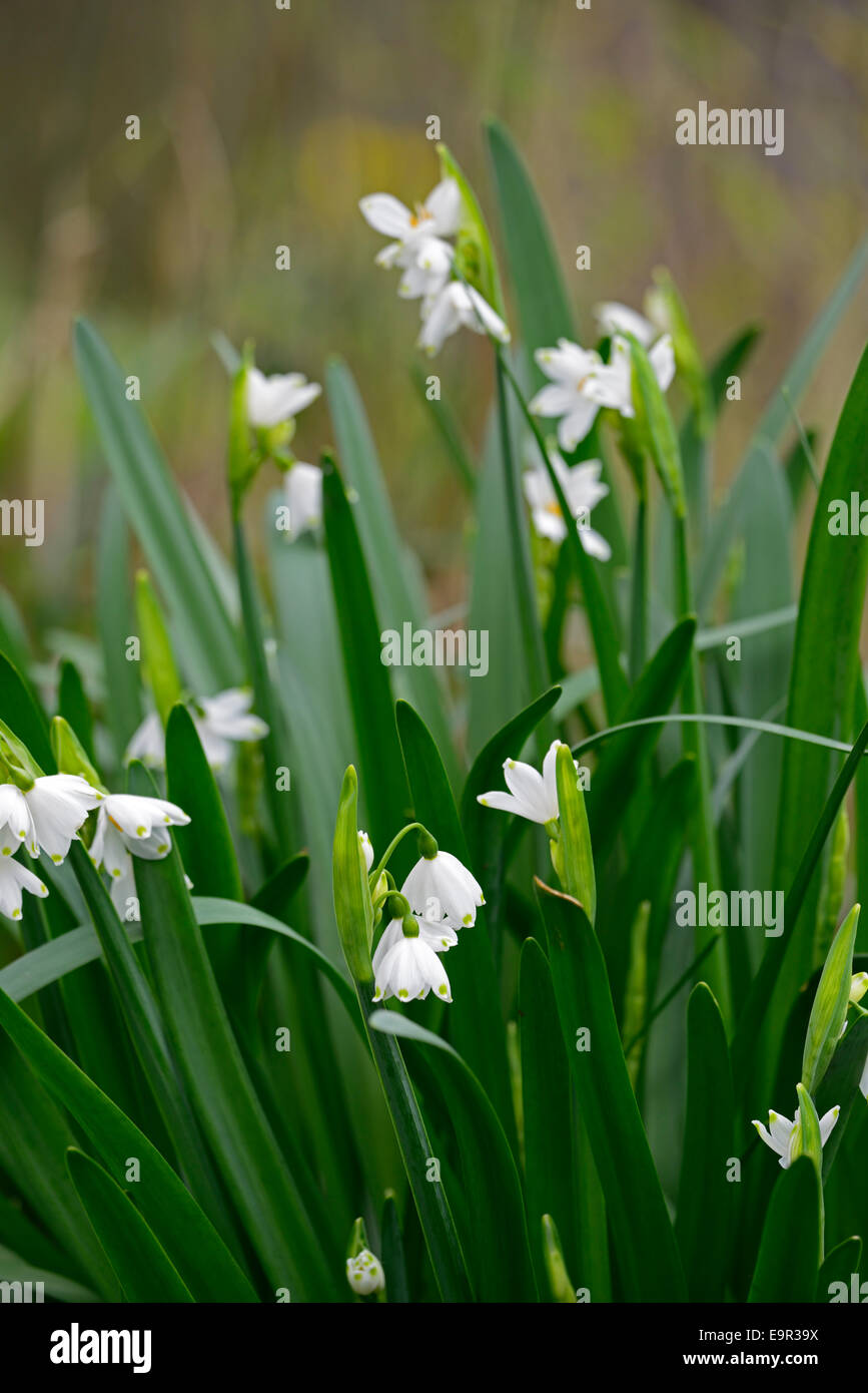 Leucojum aestivum gravetye giant stock photos leucojum aestivum leucojum aestivum gravetye giant summer snowflake flowers small bell shaped shape white green spot tepal mightylinksfo