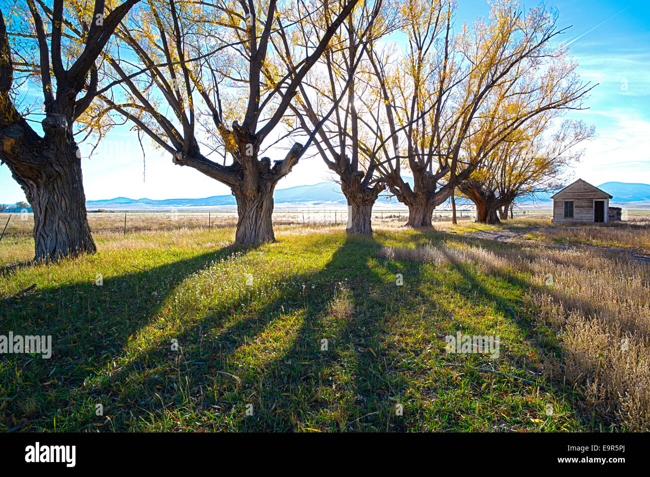 Fremont's Cottonwood trees on abandoned ranch, Monte Vista National Wildlife Refuge, Central Colorado, USA - Stock Image