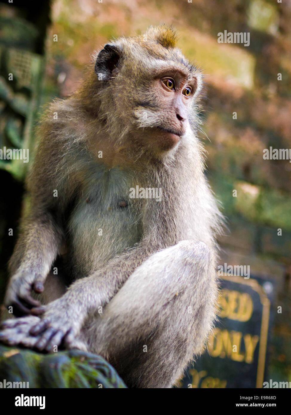 Rhesus monkey in the Monkey Forest Sanctuary in Ubud, Bali, Indonesia. - Stock Image