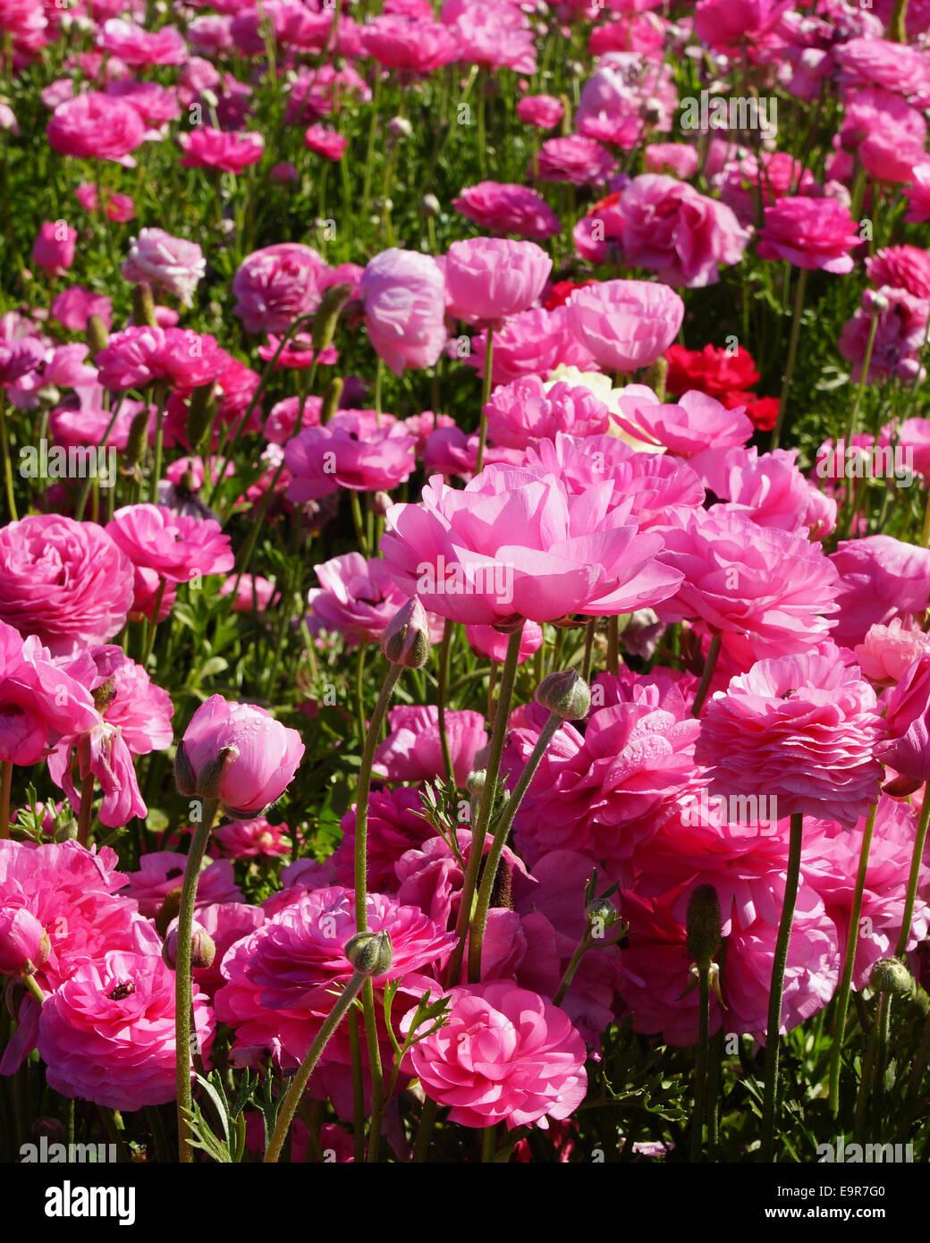 Pink flower fields at san diego california stock photo 74884208 pink flower fields at san diego california mightylinksfo
