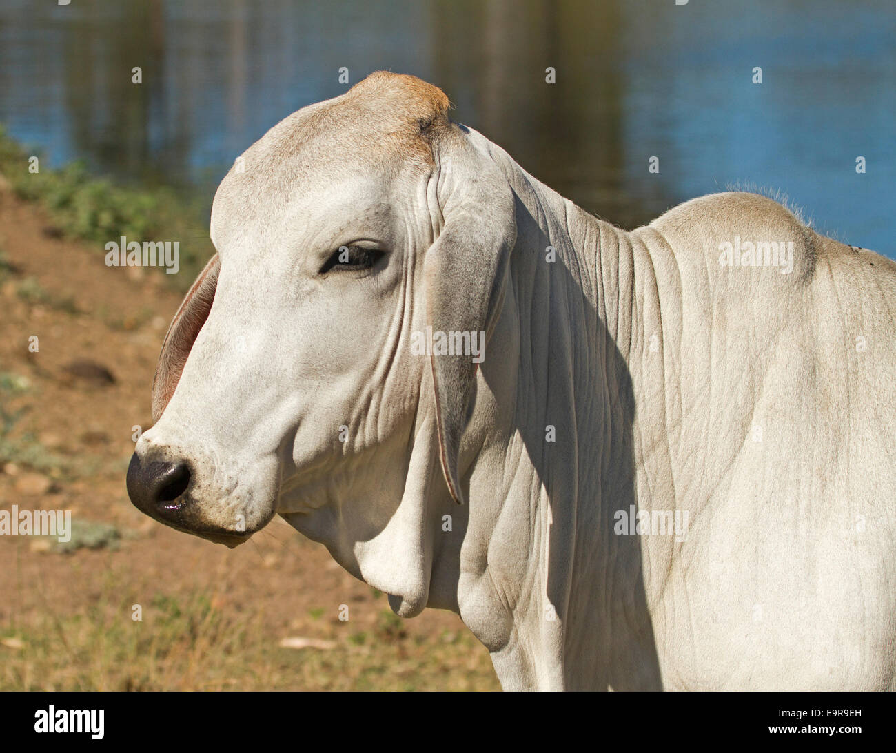 Head of young white brahman /  zebu cow, Bos indicus, with background of blue water of dam in outback Australia - Stock Image