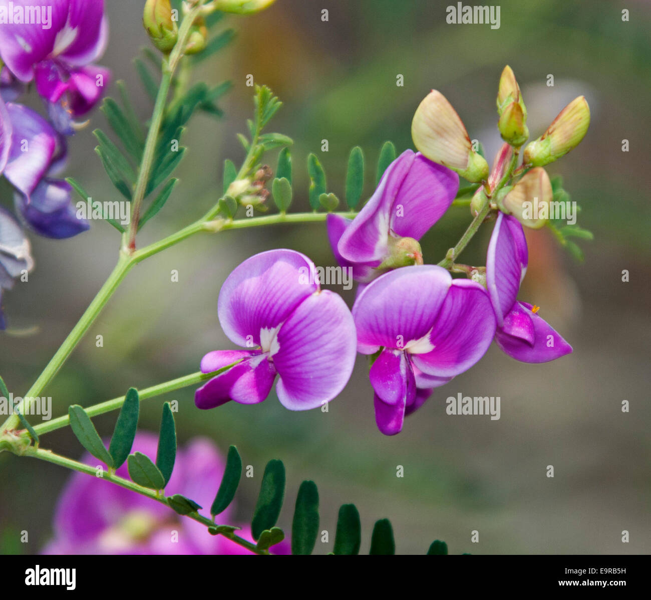 Cluster of beautiful bright pink / magenta flowers, buds & leaves of Swainsona greyana, Darling Pea, an Australian - Stock Image