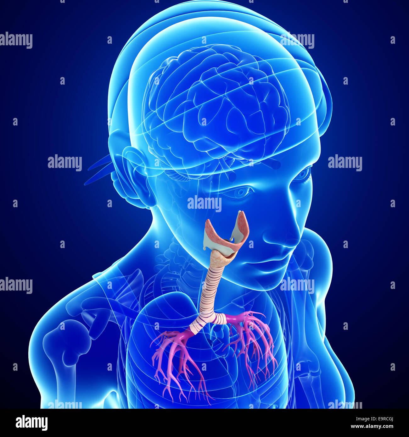 Illustration Of Female Throat Anatomy Stock Photo 74888146 Alamy