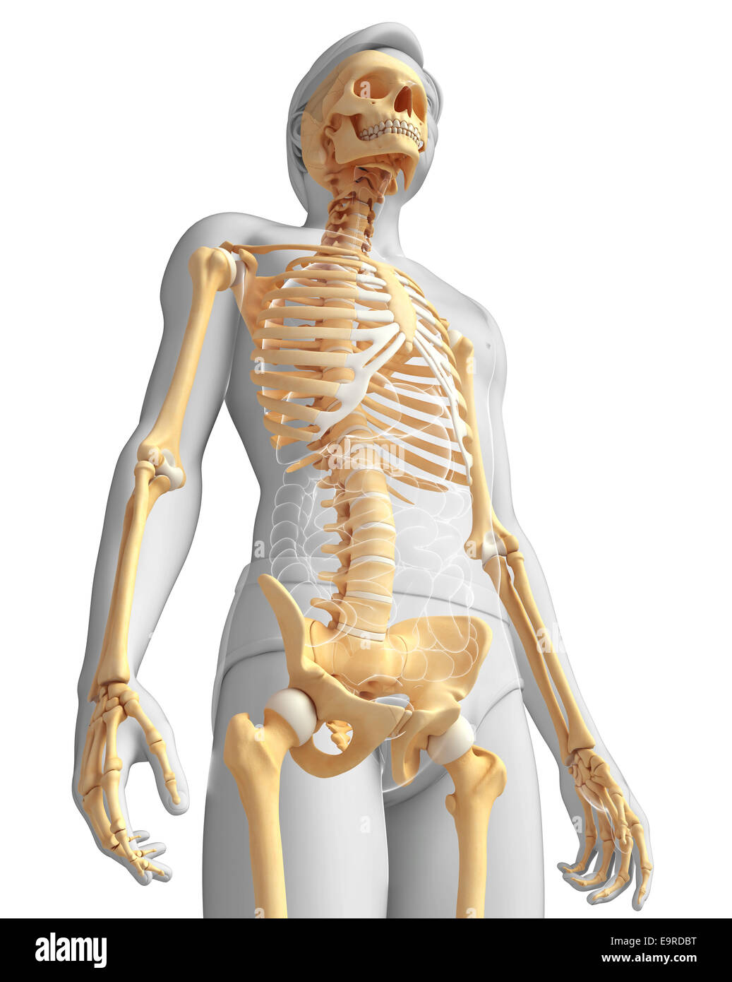 Illustration Of Human Skeleton Side View Stock Photo 74888796 Alamy
