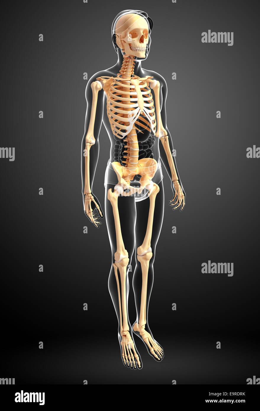 Illustration Of Human Skeleton Side View Stock Photo 74889127 Alamy