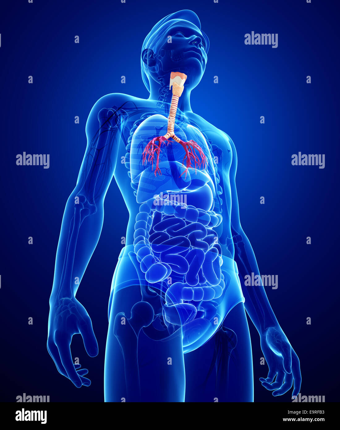 Illustration Of Male Throat Anatomy Stock Photo 74890343 Alamy