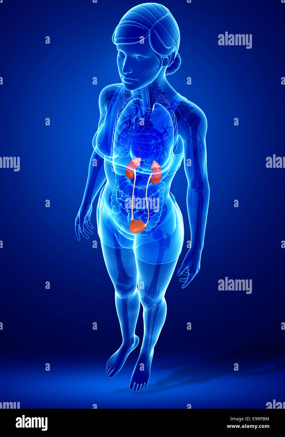 Illustration Of Female Urinary System Stock Photo 74890360 Alamy