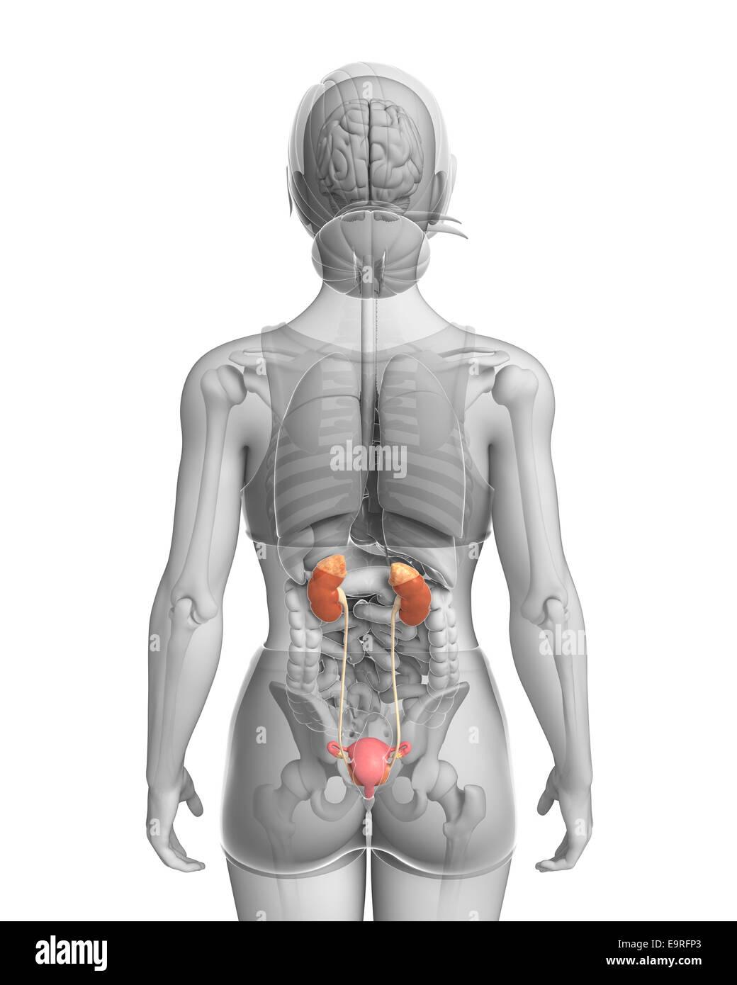 Old Fashioned Pelvic Anatomy Female Illustration Component - Human ...