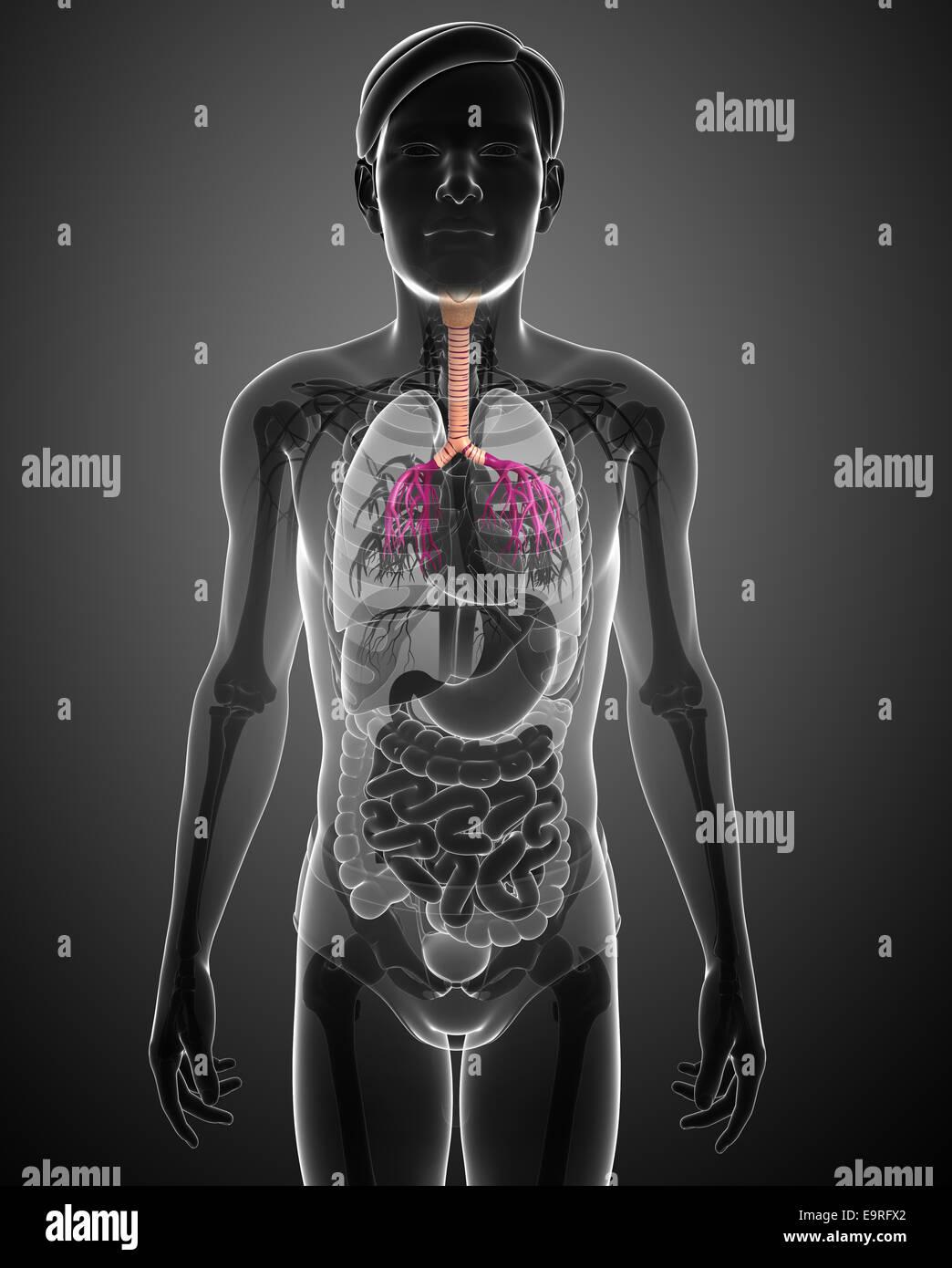 Illustration Of Male Throat Anatomy Stock Photo 74890762 Alamy