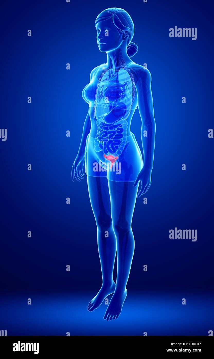 illustration of female uterus anatomy Stock Photo: 74890767 - Alamy