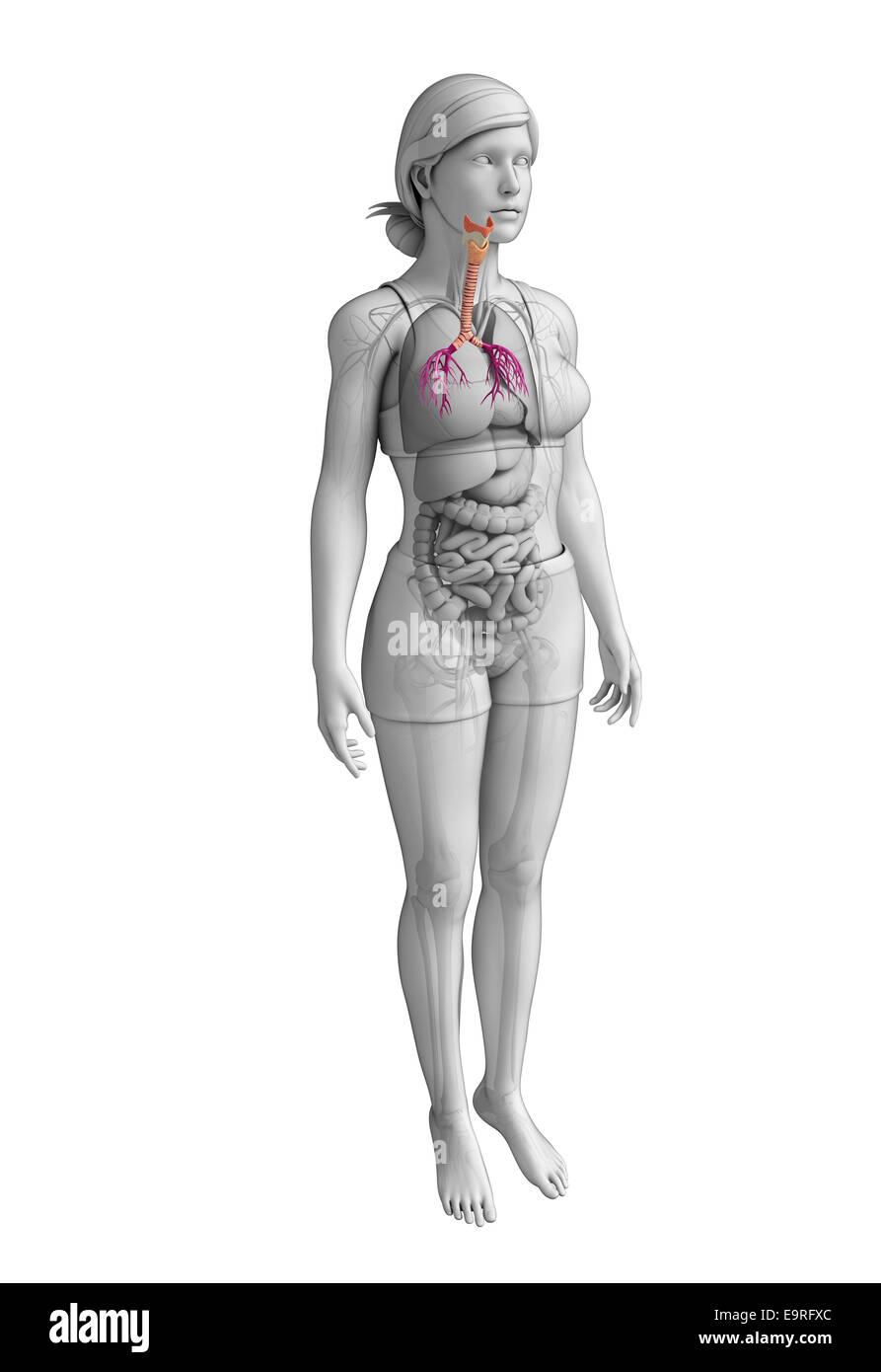Illustration Of Female Throat Anatomy Stock Photo 74890772 Alamy
