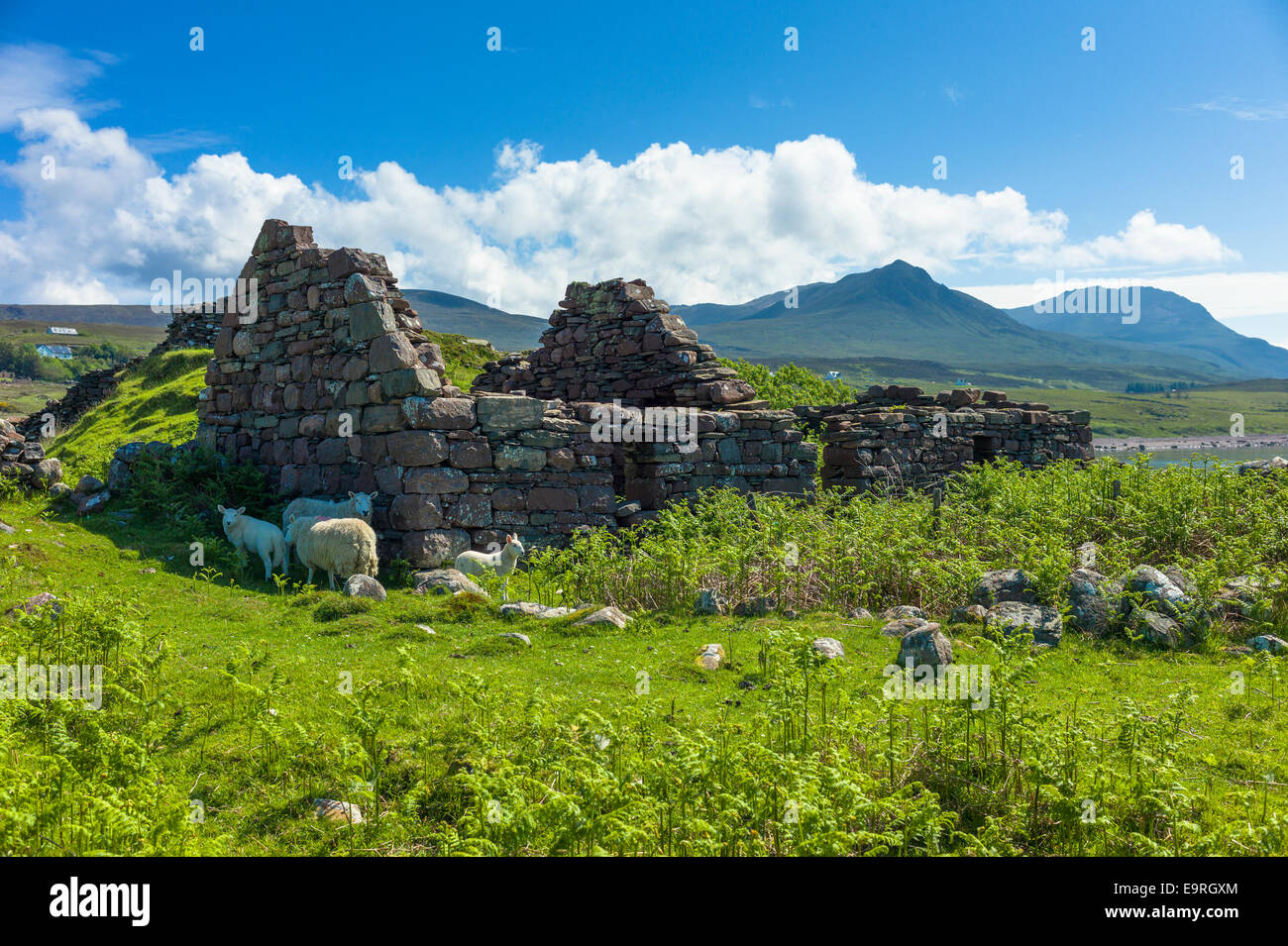 Sheep graze among ruins of a cottage at Achiltibuie on the West Coast of SCOTLAND - Stock Image