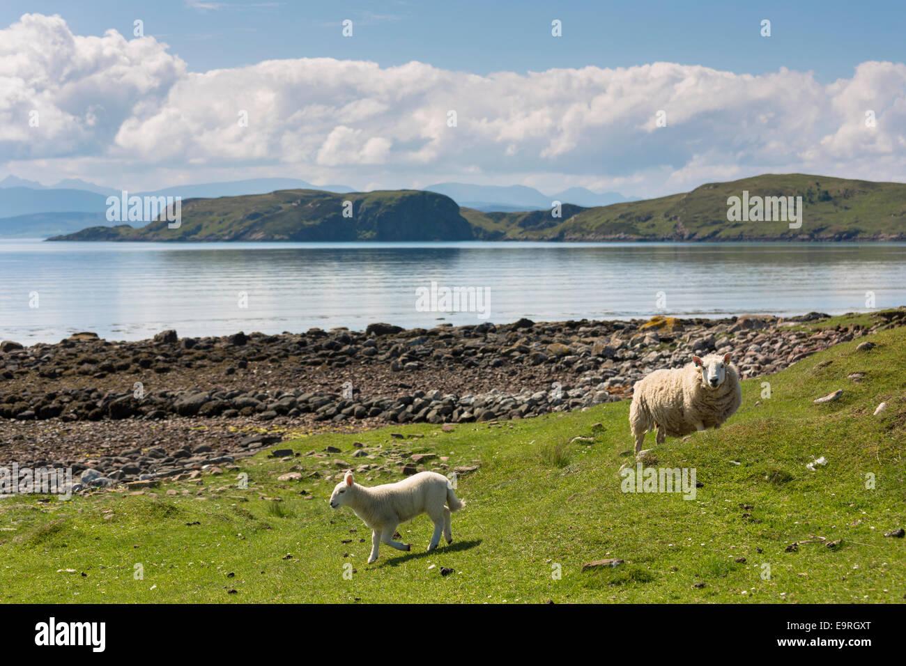 Sheep, ewe and lamb, at Achiltibuie on the West Coast of SCOTLAND - Stock Image