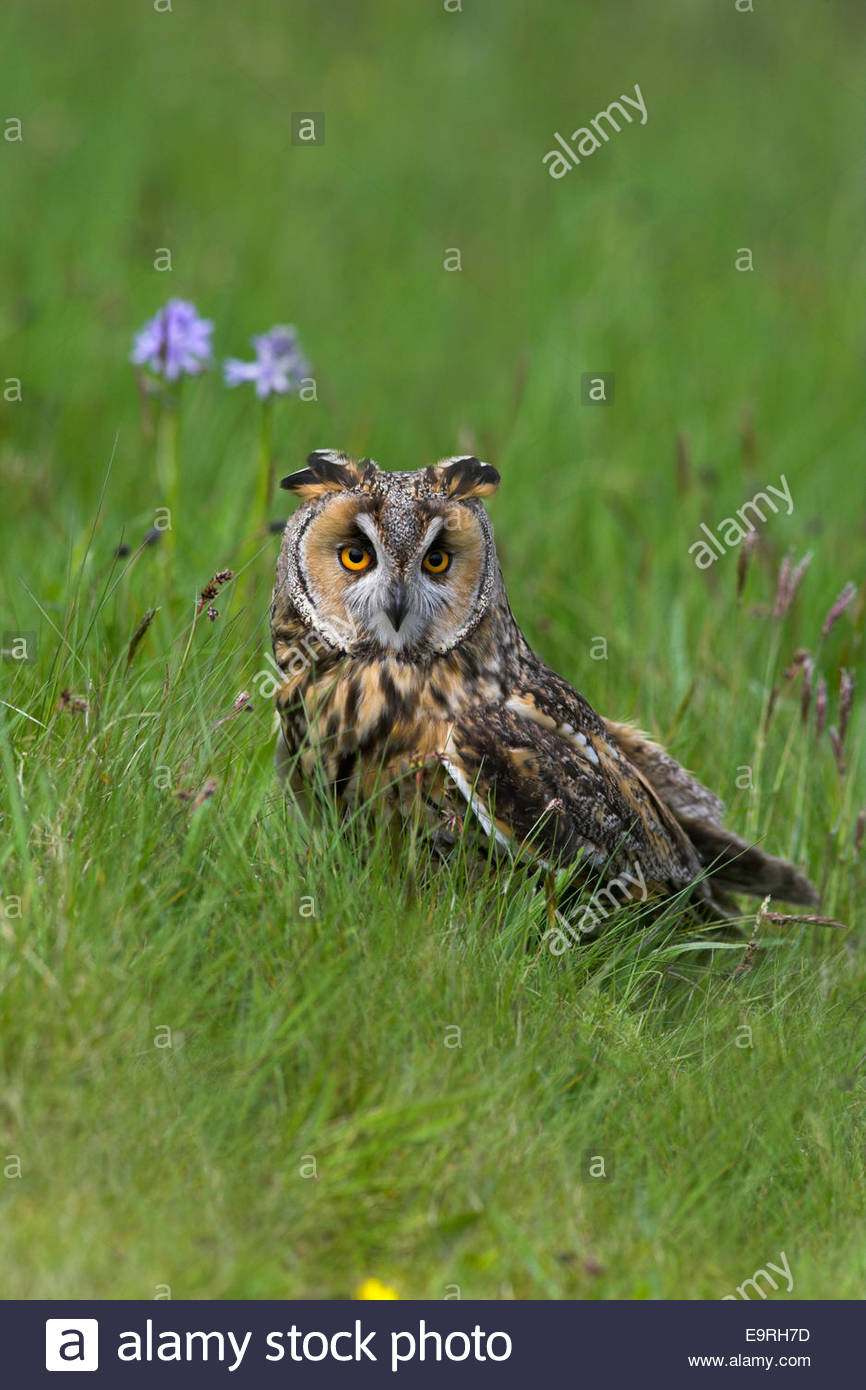 Long-eared owl, Asio otus, captive, UK - Stock Image