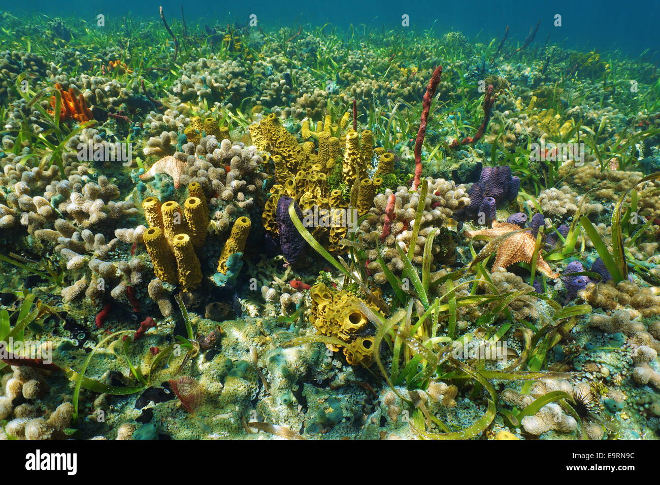 Colorful underwater creatures on the seafloor with sponges,coral and starfish, Caribbean sea - Stock Image