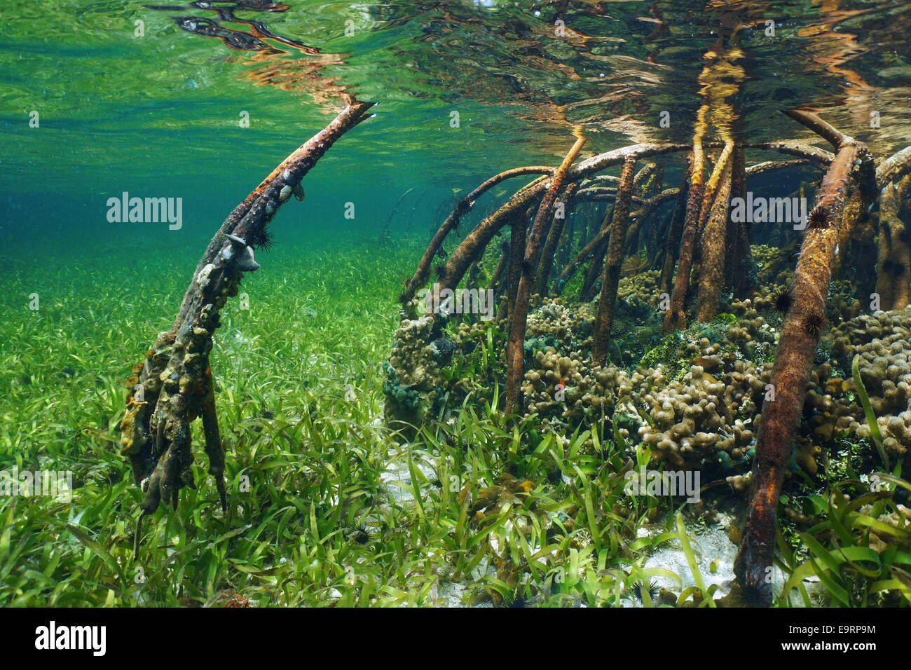 [PROJET]240l tetraodons et gobies-abeille eau saumâtre - Page 4 Mangrove-underwater-with-sea-life-in-the-roots-atlantic-ocean-bahamas-E9RP9M