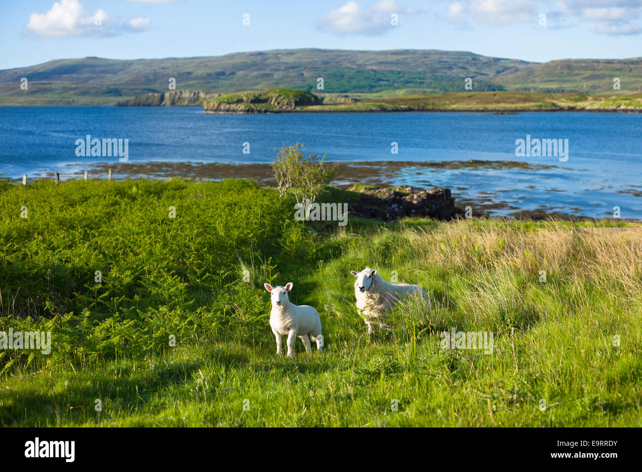 Ewe sheep with lamb, Ovis aries,  roaming freely on Isle of Skye in the Highlands and Islands of SCOTLAND - Stock Image