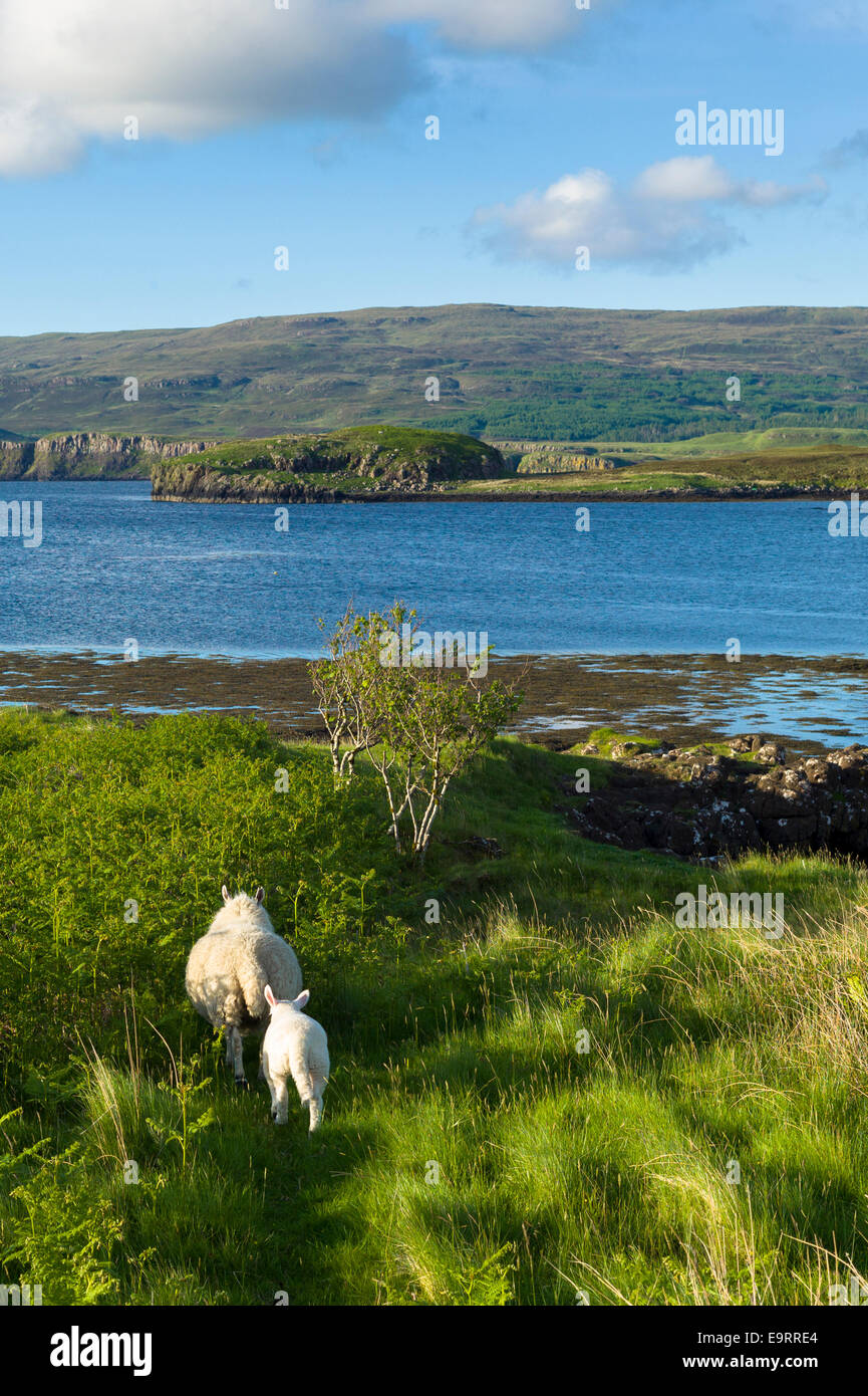 Ewe sheep with lamb, Ovis aries, following close on Isle of Skye in the Highlands and Islands of SCOTLAND - Stock Image