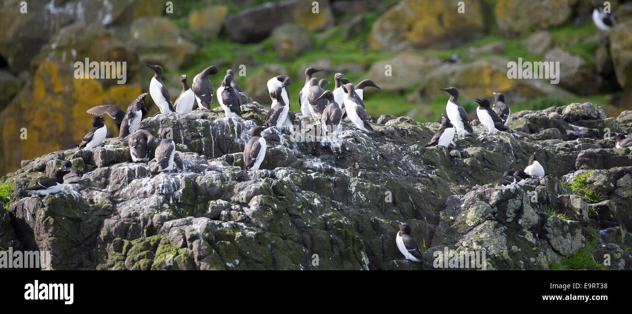 Endangered species Common Guillemot or Common Murre colony of seabirds, Uria aalge, of the aUK family (part of the - Stock Image