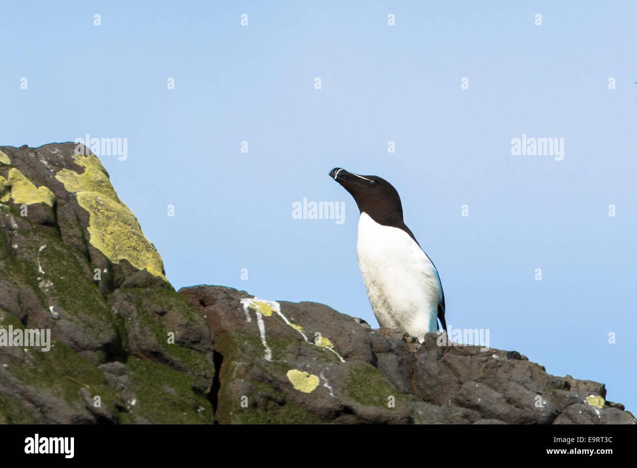Razorbill seabird, Alca torda, coastal bird with razor beak on rocks on Isle of Canna part of the Inner Hebrides - Stock Image