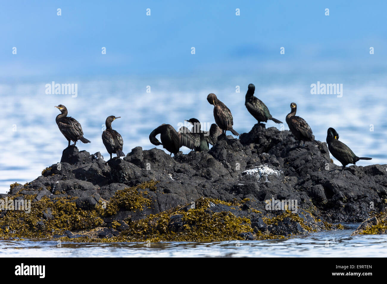 Colony of Cormorant coastal birds, Phalacrocorax carbo, on rocks on Isle of Canna part of the Inner Hebrides and - Stock Image