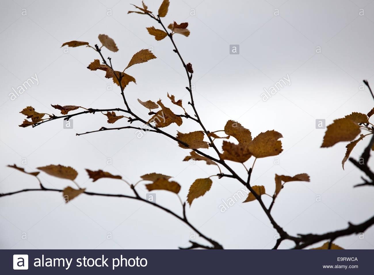 Birch twig towards gray sky - Stock Image