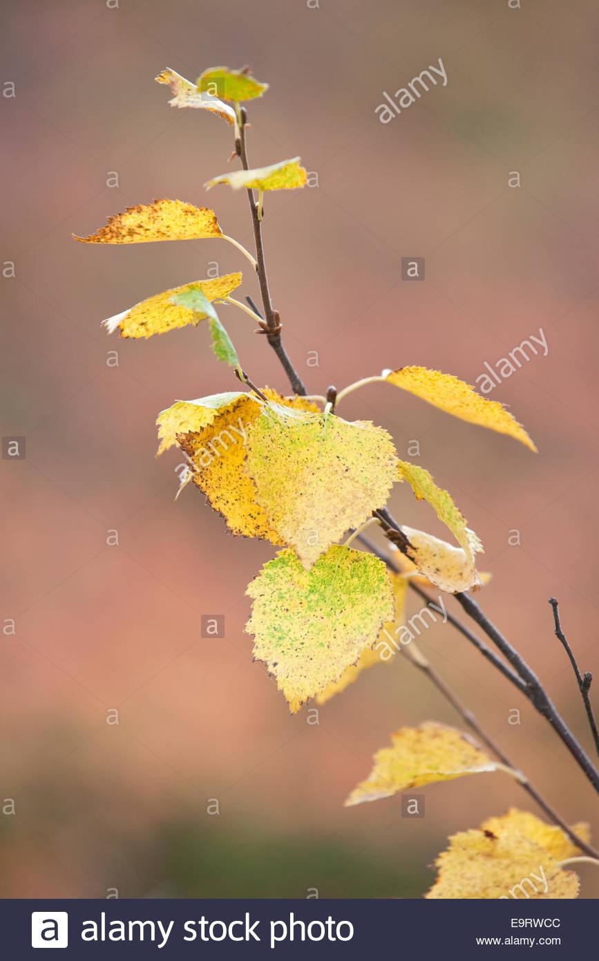 Birch tree twig in fall - Stock Image