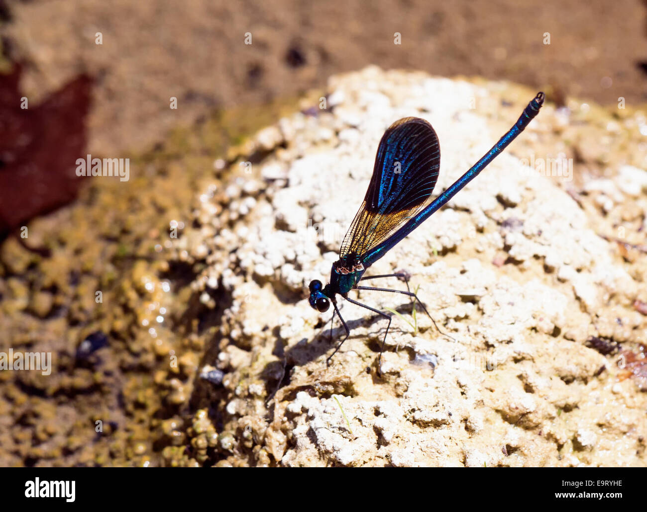 Calopteryx splendens cretensis  the Cretan subspecies of the  Banded Demoiselle resting beside a stream in Rethymnon - Stock Image