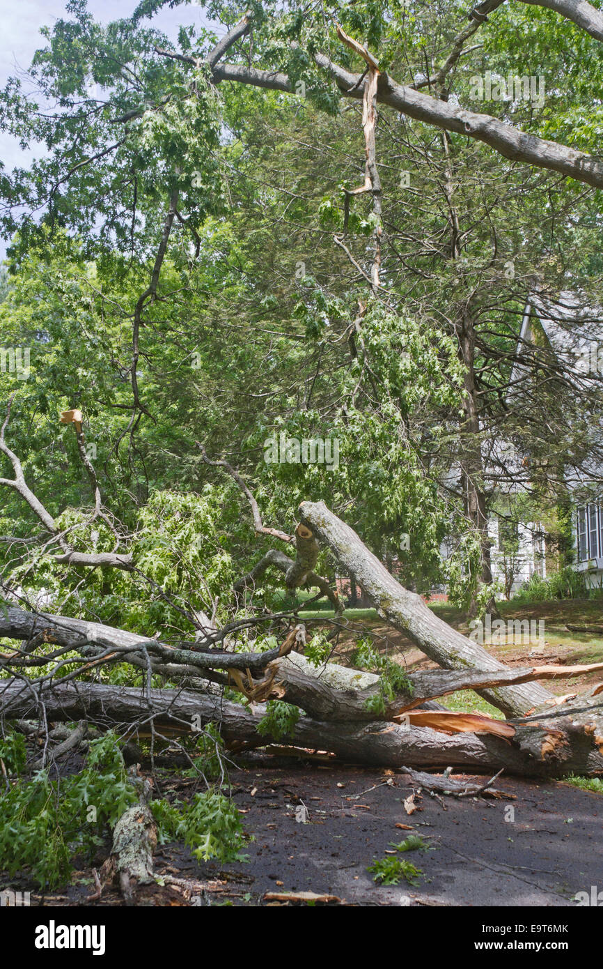 A large oak tree ripped apart by a storm lies crumpled across a road as a 'widow maker' branch dangles precariously - Stock Image