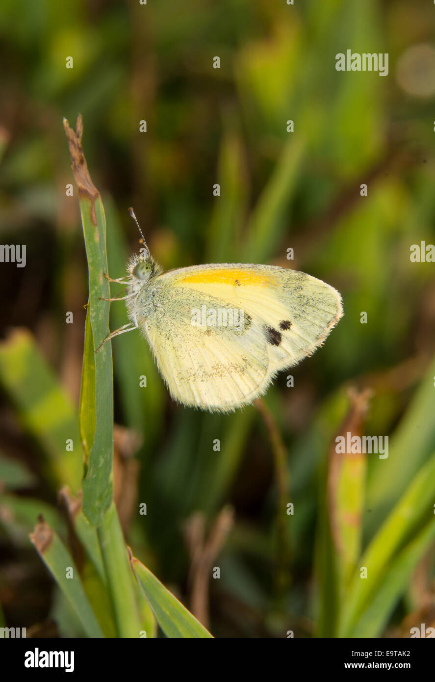Tiny Dainty Sulphur butterfly, Nathalis iole, resting on a blade of grass in sunshine - Stock Image