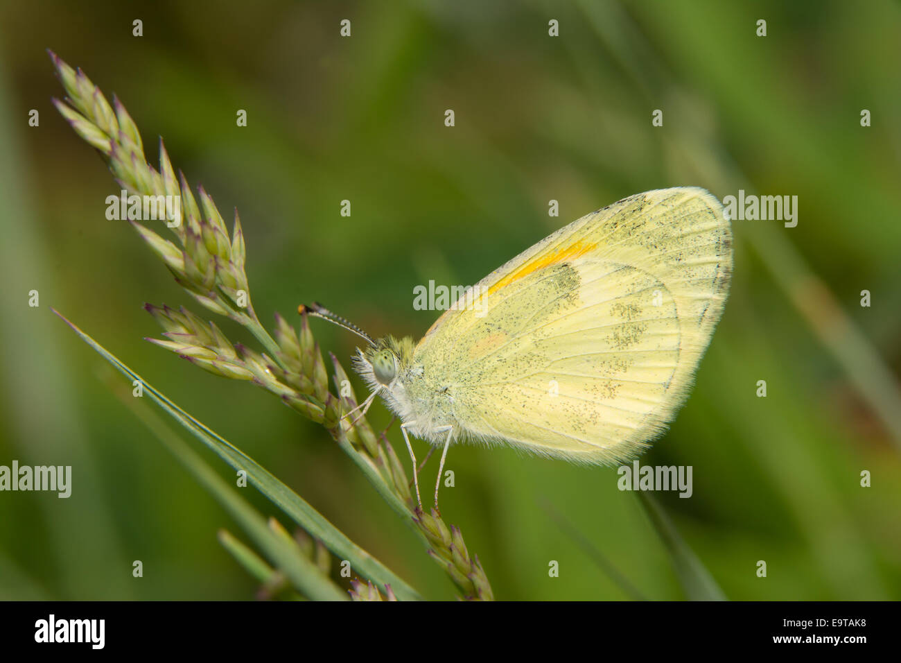 Dainty Sulphur butterfly, the smallest North American pierid, resting on grass - Stock Image