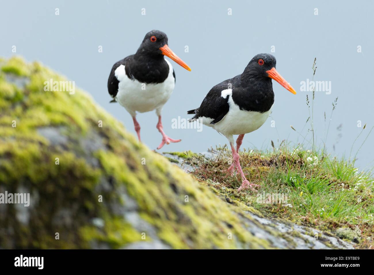 Pair of Oystercatchers, Haematopus ostralegus, black and white Oystercatcher wading birds with long orange beaks Stock Photo
