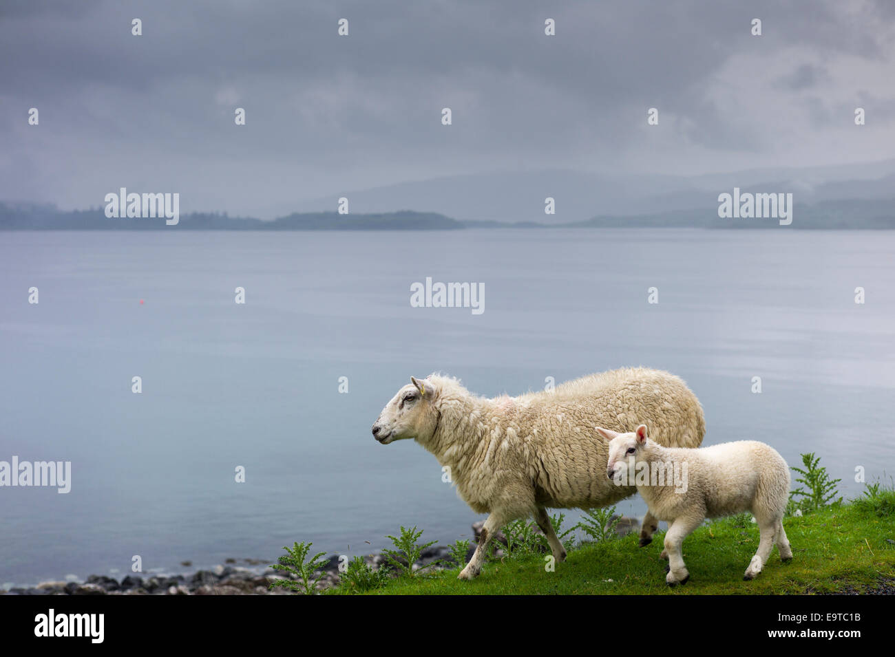 Ewe sheep with lamb, Ovis aries,  roaming freely by side of road and loch on Isle of Mull in the Highlands and Islands - Stock Image