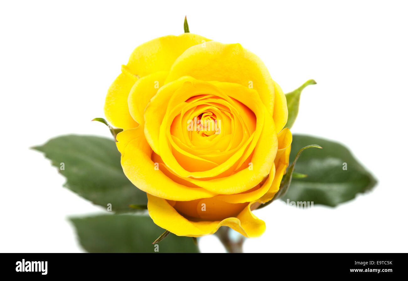 Single Yellow Rose Flower Isolated On White Stock Photo 74909791