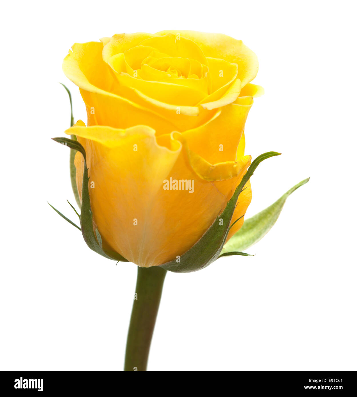 Single Yellow Rose Flower Isolated On White Stock Photo 74909801