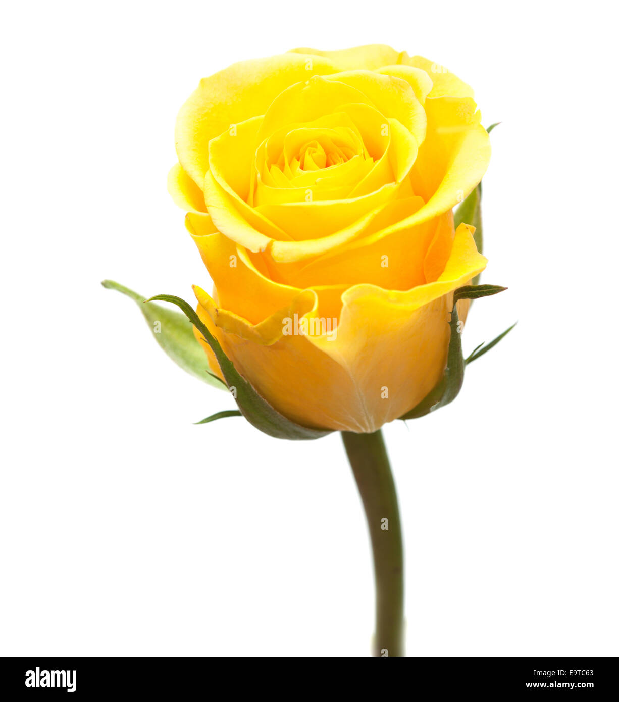 One Beautiful Yellow Rose In Cut Out Stock Images Pictures Alamy