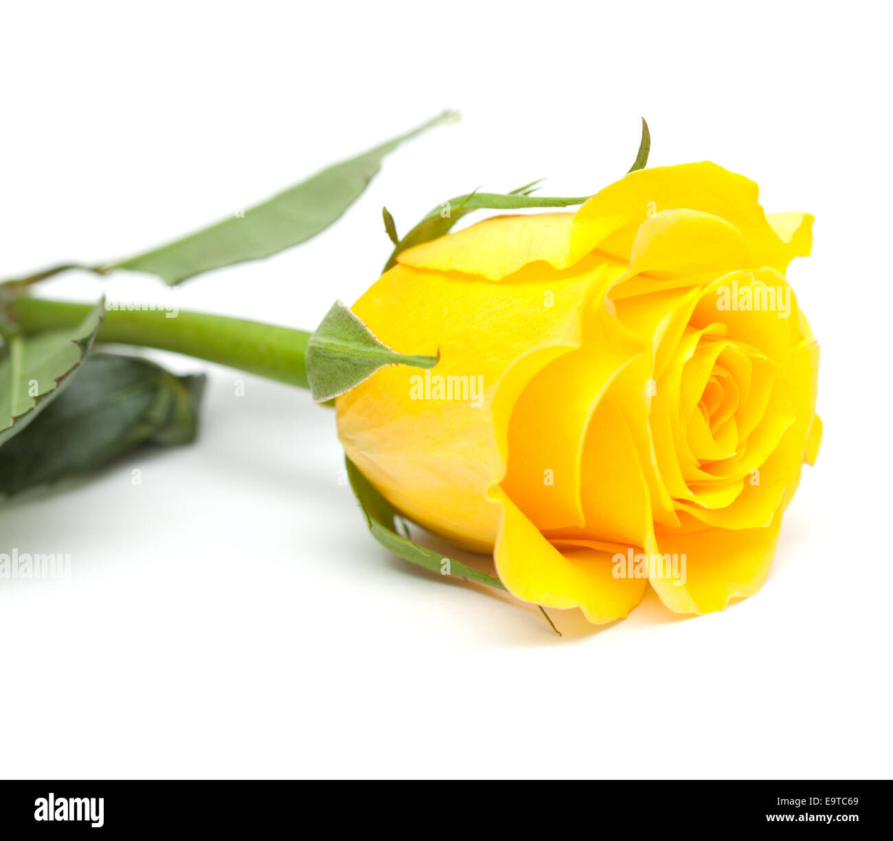 Single Yellow Rose Flower Isolated On White Stock Photo 74909809