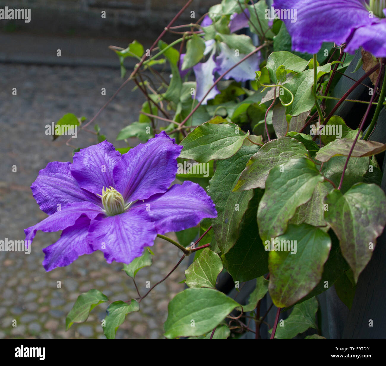 Spectacular Huge Purple Flower And Emerald Green Leaves Of Clematis