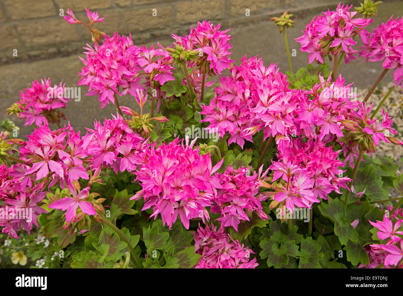 Cluster of stunning brilliant pink geranium flowers graffiti series cluster of stunning brilliant pink geranium flowers graffiti series with green and red variegated leaves mightylinksfo