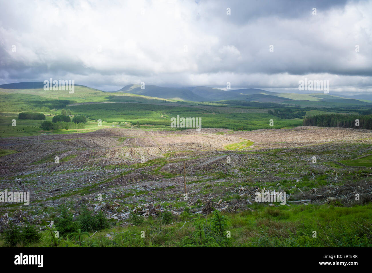 Razed forest of pine trees stripped for timber at Forestry Commission coniferous plantation in Galloway Forest Park, - Stock Image