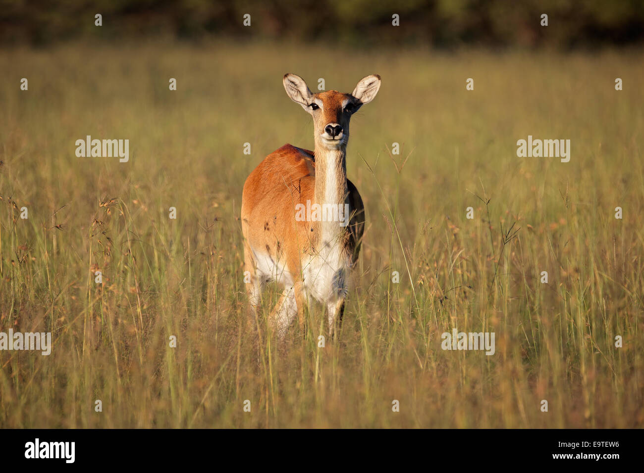 Female red lechwe antelope (Kobus leche) in tall grass, southern Africa - Stock Image