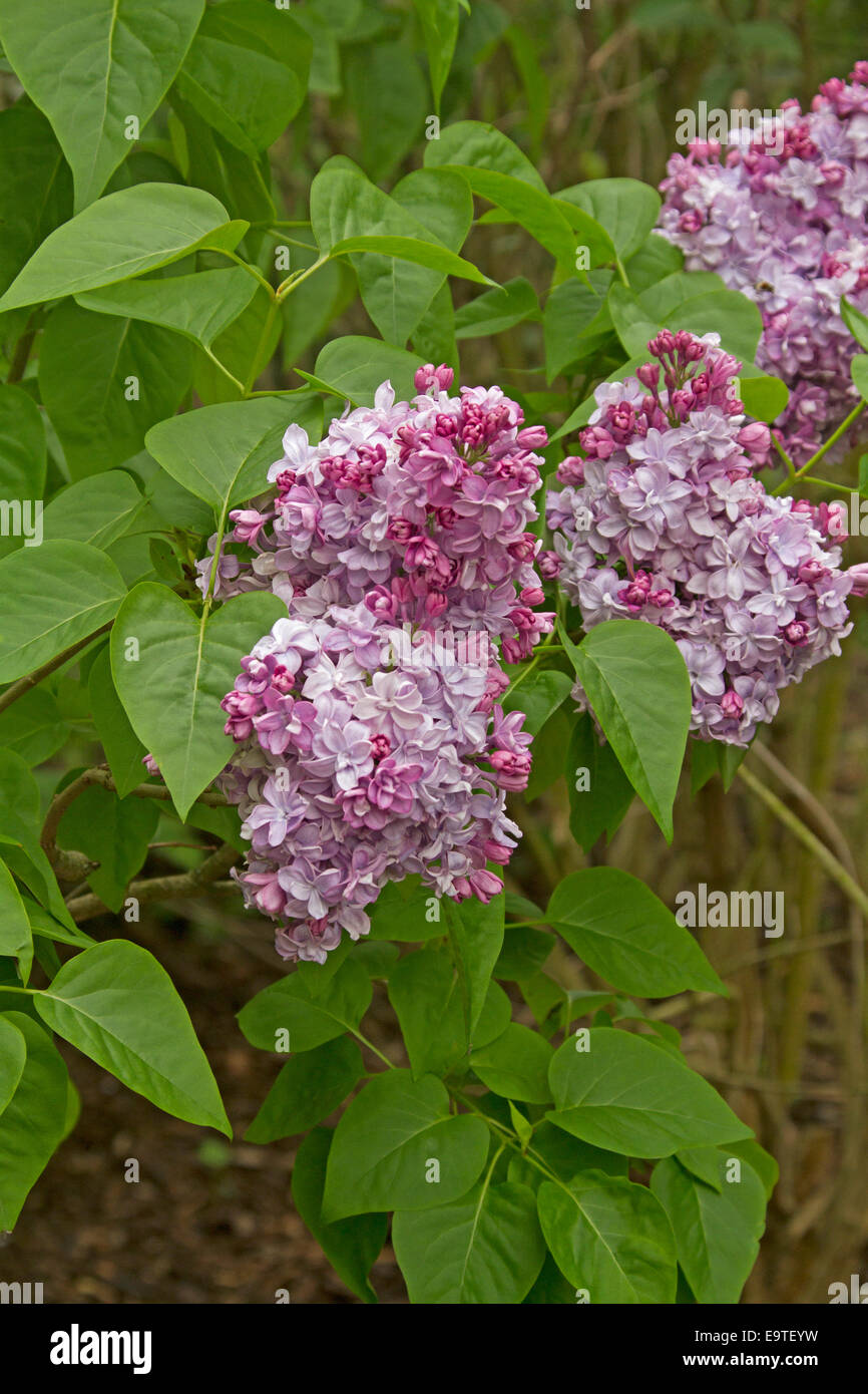Large and spectacular clusters of pink mauve flowers and emerald large and spectacular clusters of pink mauve flowers and emerald green heart shaped leaves of lilac tree syringa vulgaris mightylinksfo