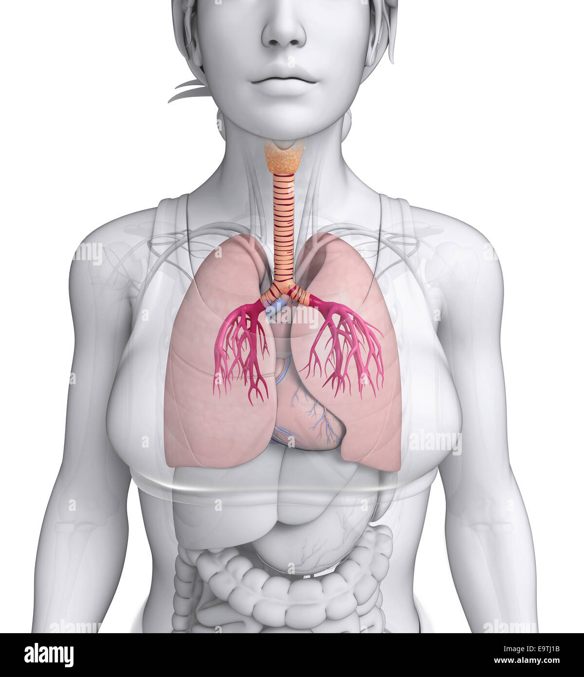 Illustration of Female throat anatomy Stock Photo: 74914375 - Alamy