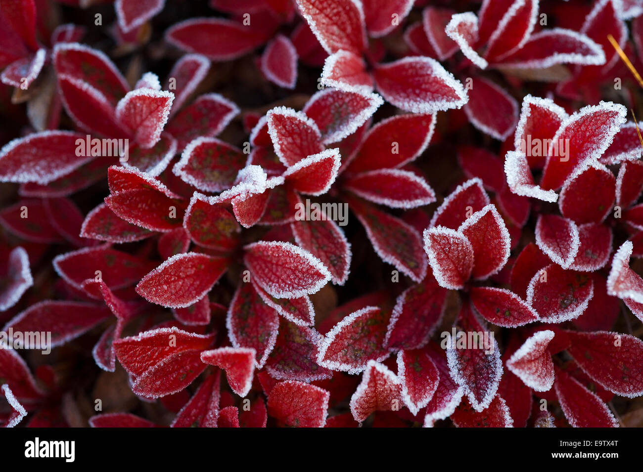 Alpine Bearberry with red frosted leaves Stock Photo