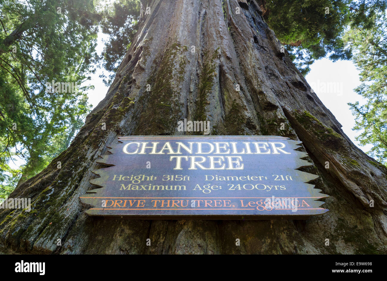 Redwood tree california looking up stock photos redwood tree the 2400 year old chandelier drive thru redwood tree in leggett mendocino county arubaitofo Choice Image