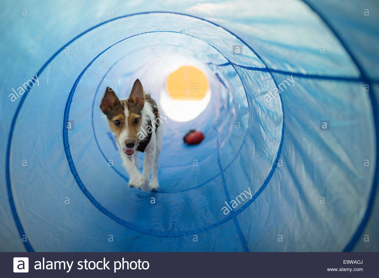 Dog playing in agility tunnel - Stock Image