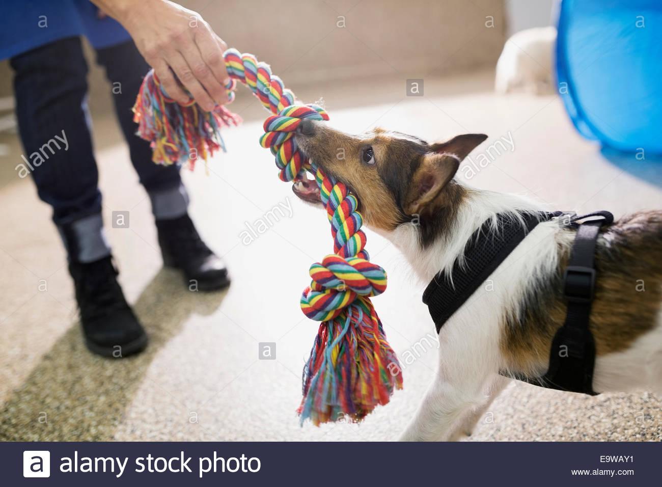 Dog and woman playing tug-of-war - Stock Image