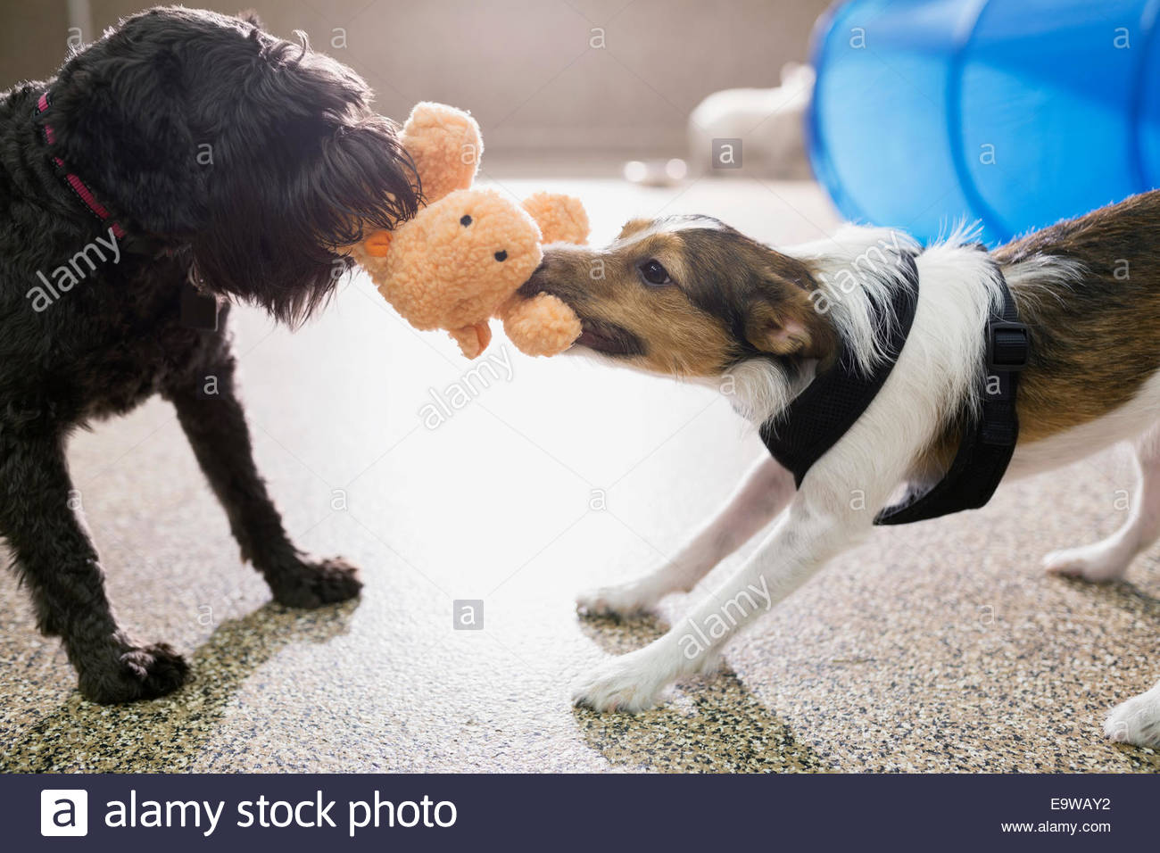 Dogs playing tug-of-war with stuffed animal - Stock Image