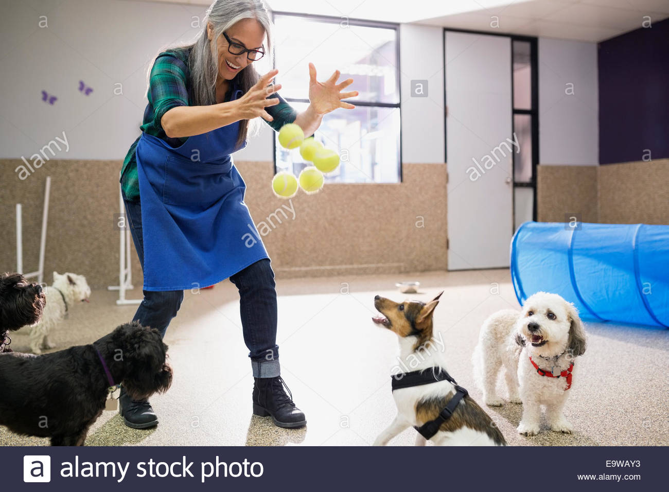 Dog daycare owner throwing tennis balls to dogs - Stock Image